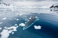 A curious Antarctic Minke whale (Balaenoptera bonaerensis) in Paradise bay, Antarctica, Southern Ocean.