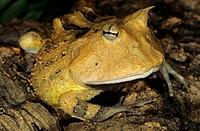Surinam Horned Frog (Ceratophrys cornuta) Surinam, South America