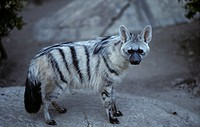 Aardwolf (Proteles cristatus) Found in Africa