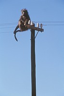 Chacma Baboon On Electric Pole (Papio Ursinus) Namibia, Africa Civilization