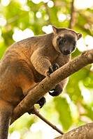 A female Bennett's tree kangaroo (Dendrolagus bennettianus), a member of a captive breeding program to help ensure the survival of the species, makes ...