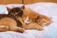 3 Norwegian Forest Kittens, 6 wks. old, sleeping