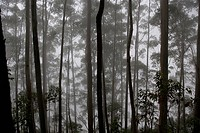Silhouettes of tall trunks in Sri Lankan hill country
