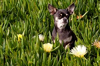 Short-haired Chihuahua among wildflowers; Southern California, USA