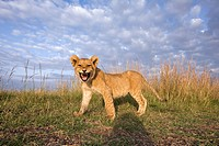 Lion cub snarling - wide angle perspective (Panthera leo). Maasai Mara National Reserve, Kenya. Aug 2008.