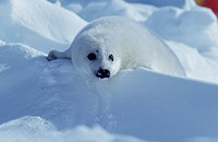 Harp Seal Pup (Pagophilus Groenlandicus), Madeleine Islands, P.Q., Canada