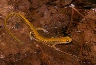 Long-Tailed Salamander (Eurycea l. longicauda) Captive