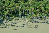 Palma Real (Mauritia flexuosa) along lakehsore, Lago Rogaguado S12 58.234 W65 51.585, Rio Yata watershed, Yacuma, Beni, Bolivia 6-3-05