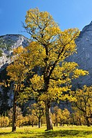 Maple Tree in Autumn, Grosser Ahornboden, Karwendel, Eng, Tyrol, Austria.