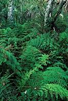 Ferns along Big Cypress Bend boardwalk, Fakahatchee Strand State Preserve, Florida.