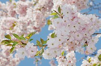 Germany, Bavaria, Japanese cherry blossom