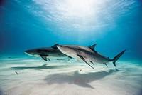 Bahamas, Tiger sharks at Bahama Bank