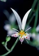 Creeping saxifrage flower (Saxifraga stolonifera).
