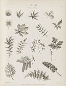 Compound leaves, 19th-century artwork. Compound leaves are those where the leaf is divided into separate leaflets, as opposed to the single blade or l...