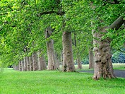 Stately old trees grow in a line along a road, Pennsylvania, USA.
