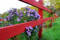 Purple flowers by the fence.