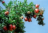 Pomegranate ( Punica granatum ). - APHITOS, GRIECHENLAND, 15/09/2003