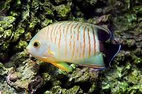 Blacktail angelfish, Centropyge eibli / Eibls Zwergkaiserfisch, Centropyge eibli