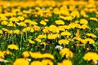 Dandelions in Vienna, Austria - 25/04/2010