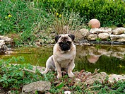 pug is sitting next to garden pond - 21/04/2010