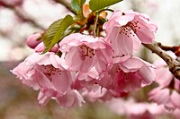 Japanese flowering cherry - 11/04/2010