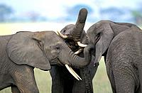 African Elephant, loxodonta africana, Immatures playfighting, close-up of heads, Kenya.