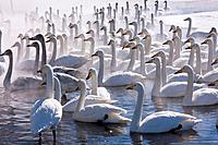 Whooper swans, Hokkaido, Japan.