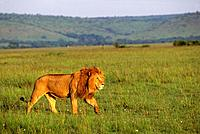KENYA, MASAI MARA, MALE LION STALKING THROUGH GRASS.
