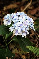 hydrangea flowers . Also known as mop head . North Tenerife island . spain