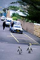 SOUTH AFRICA, NEAR CAPE TOWN, SIMONTOWN, JACKASS PENGUINS ON ROAD.