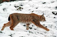 Europõischer Luchs ( Felis lynx) European Lynx + Baden-Wuerttemberg, GERMANY, Germany - GERMANY / Germany, 30/01/2005
