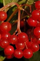 Gemeiner Schneeball, reife Fruechte im Spaetsommer (Viburnum opulus) European Craneberrybush, red berries in late summer ; Ostalbkreis, Baden Wuerttem...