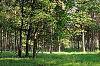prairie en sous-bois dans la Foret de Rambouillet,departement des Yvelines,region Ile de France,France,Europe/grassland understory in the Forest of Ra...