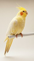 Cockatiel (Nymphicus hollandicus), side view