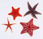 Selection of Starfish (Asteroidea), Bloody Henry Starfish, Red Cushion Starfish, Common Starfish (Asterias rubens)