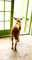 A dog hesitates at an open door - to stay or to go?