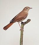 Nightingale (Luscinia megarhynchos) perching on a twig