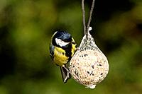 Great Tit (Parus major) perched on a fat ball, Bergshausen, Fuldabrück, Hesse, Germany