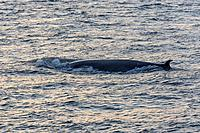 Bryde's Whale (Balaenoptera brydei), San Cristóbal Island, Galápagos Islands, Ecuador