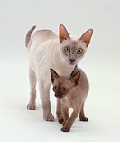 A white short-haired Domestic Cat (Felis catus) with a grey-brown kitten, front view