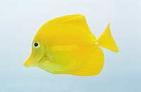 Yellow tang (Zebrasoma flavescens), a bright yellow fish