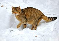 European wildcat, forest wildcat (Felis silvestris silvestris), standing in the snow, Germany