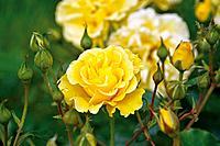 ornamental rose (Rosa 'Westart', Rosa Westart), cultivar Westart