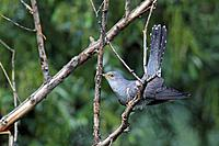 Eurasian cuckoo (Cuculus canorus), sitting in a tree, Greece, Macedonia, Lake Kerkini