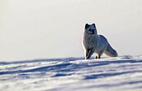 Arctic fox (Alopex lagopus), west coast Hudson Bay, south of Arviat, Nunavut, Canada