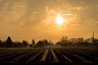 Blueberry farm at sunrise, Richmond, British Columbia, Canada