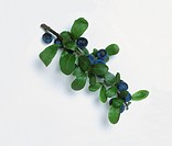 Branch of blue berries and leaves from Prunus spinosa (Blackthorn), close-up