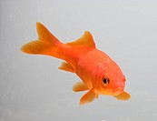 Goldfish - three quarter view (Carassius auratus)