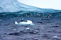 Pintado or Cape Petrel - Flock in flight near iceberg (Daption capense)