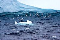 Pintado or Cape Petrel - Flock in flight near iceberg (Daption capense)